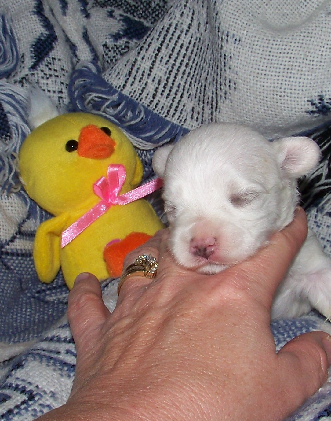 puppies4wksold022.jpg